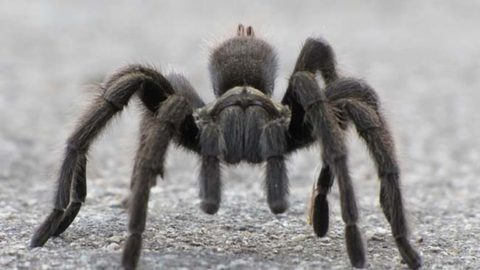 Identify the Deadly Spiders of North America