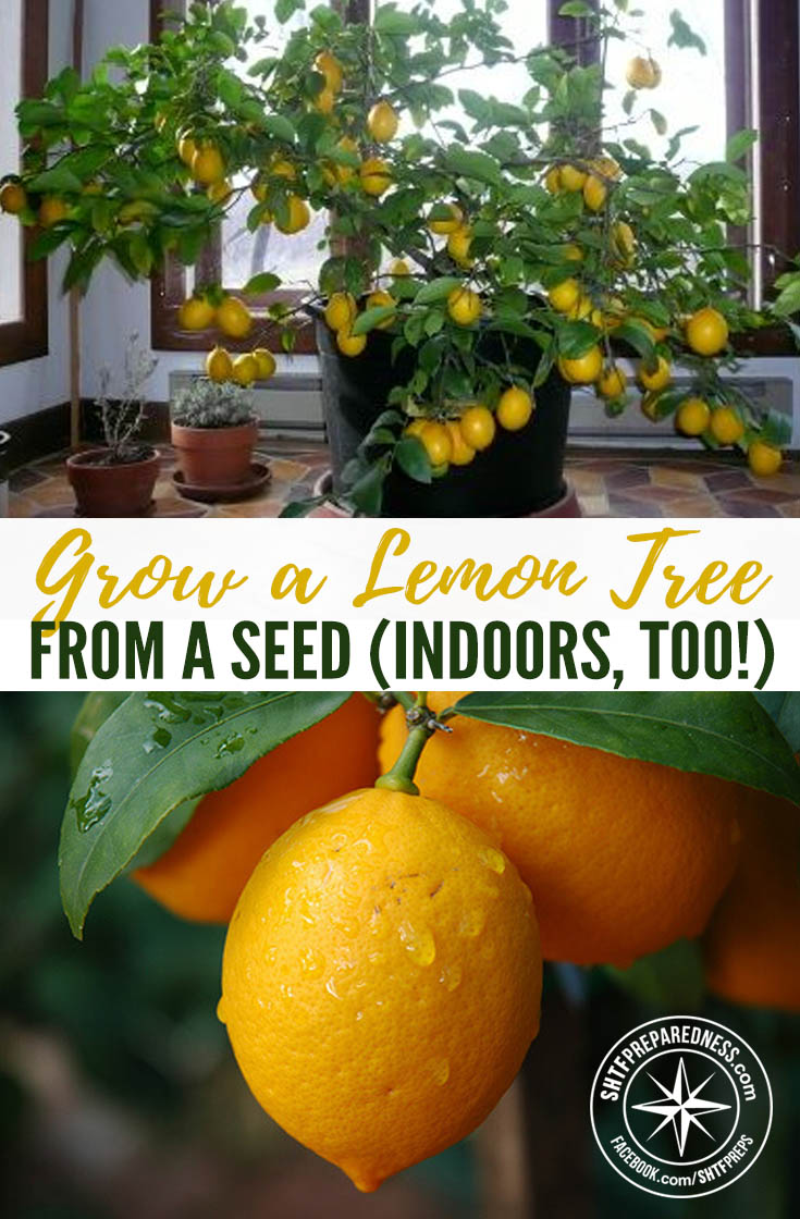 Grow a lemon tree from a seed indoors too for Can i grow a lemon tree from lemon seeds