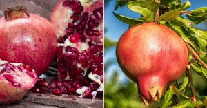 How to Eat and Grow Pomegranate - an Amazing Fruit for Food and Medicine — When it comes to survival foods, you'll want to grow pomegranate. If you don't have the space to grow your own, or your not in the ideal pomegranate growing zones 7-10, then you can add this to your list of foods to buy and dry or to buy already dried for storage.