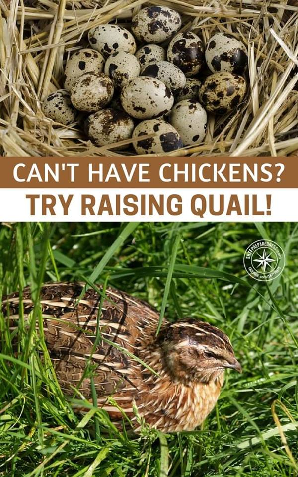 Can't Have Chickens? Try Raising Quail! -- There are places where chickens are banned from being raised. Home Owner's associations are a prime example of places you can't raise chickens at all. Oddly enough though, they don't mind you raising quail.