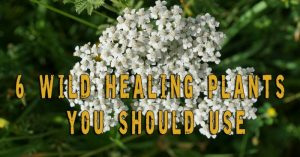 6 Wild Healing Plants You Should Use — Nature offers a multitude of solutions to recover, without side effects from some of the most problematic illnesses we can think of. There are medicinal plants that have been used in alternative medicine since the dawn of time. With more than two hundred medicinal plants found in North America alone, I think it is worth learning about what natural remedies we should use when medical aid is not available.