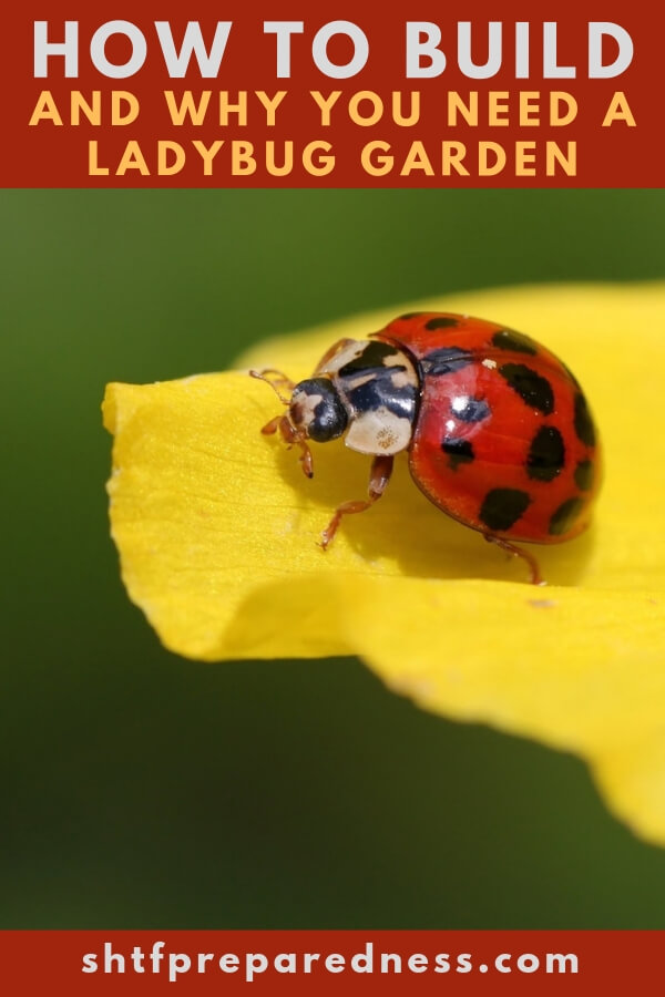 How To Build And Why You Need A Ladybug Garden — I am glad I am sharing this with you today, I plan on starting my survival garden this spring and the one thing I have read about gardening is if you are not careful and do not use pesticides you can get a case of aphids and they can ruin your crops.