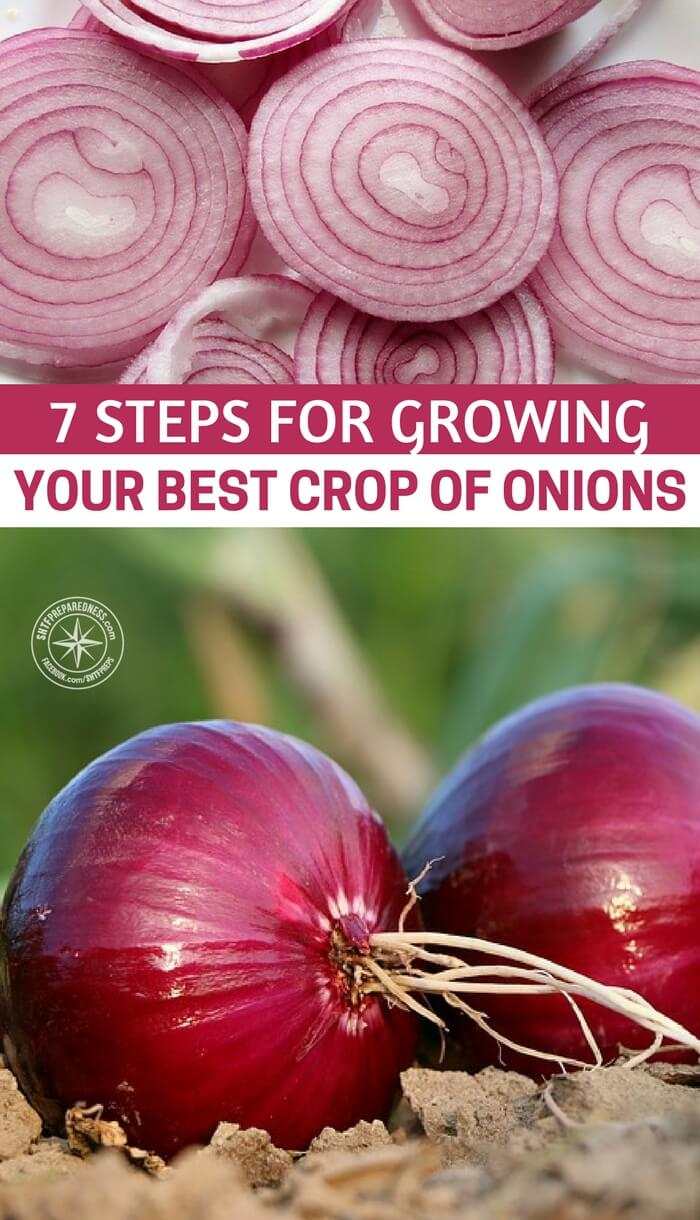 7 Steps for Growing Your Best Crop of Onions — Onions are on of the crops every self sufficient Gardener should be growing each year. Even if you only have a small garden it is possible to grow and store enough onions each year so that you never have to buy another onion again.
