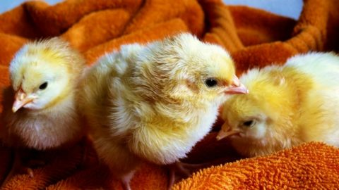 How Much Does it Really Cost to Raise Chickens?