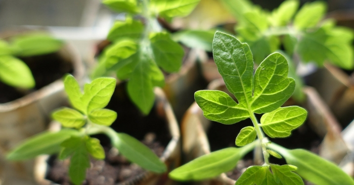 Most Common Seedlings Problems and How To Fix Them — To become self-sufficient, gardening becomes a necessary task. Seed starting is one of the most exciting activities of every gardener. However, it can also be the most critical one and failing to care for your seeds and seedlings can spell disaster.