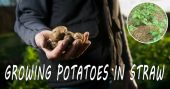 Growing Potatoes in Straw for Easy Gardening — The first time I heard about growing potatoes in straw, I taught it was a joke. After researching the subject for quite a while, I discovered this is an underrated gardening method.
