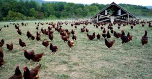 Heritage vs. Hybrid Chicken Breeds Which Is Sustainable