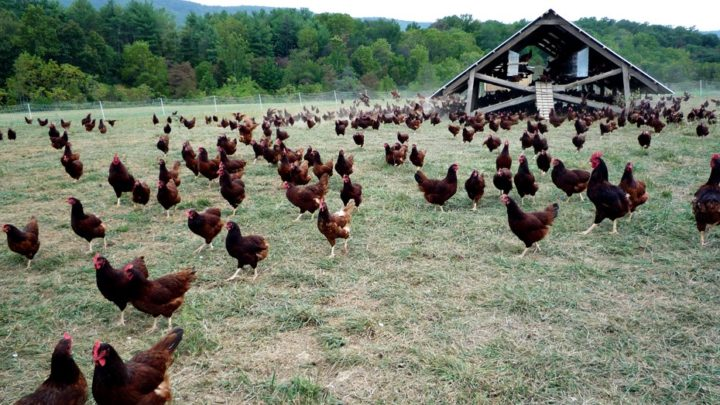 Heritage vs. Hybrid Chicken Breeds: Which Is Sustainable?