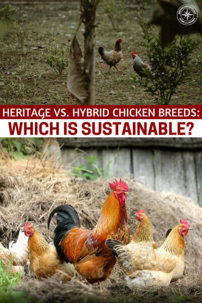 Heritage vs. Hybrid Chicken Breeds Which Is Sustainable - The key to sustainability in chicken farming is to know how to properly use the resources to provide for the chickens. However, if you ask the experts and chicken farmers, they'd say heritage breeds are the most sustainable. Not only do they survive in varying weather conditions; their bodies are designed to suit living on the meadowland.