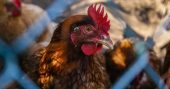 7 Reasons You Should Raise Chickens - tips