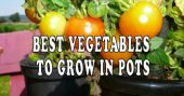 Growing Vegetables In Pots – Choosing Plants That Thrive Not everyone has the chance of having a lush vegetable garden. Most of us have to deal with the lack of gardening space or arable land. Living in an urban environment requires for you to find alternatives to your gardening plans.