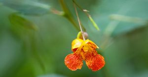 Jewelweed - the Natural Poison Ivy Remedy — Knowing your plants in the wild can save your you-know-what, in more ways than one! When my son was at army cadet boot camp, his leaders put fear into their hearts about what to beware of in the woods when camping out.