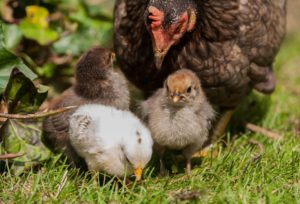 Raising Chickens for Beginners - Having chickens is my goal for next year. There are so many rewards when you own chickens like saving money on eggs and chicken but there can also be a lot of drawbacks and problems that you should be aware of.
