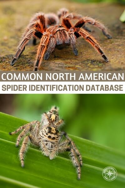 Common North American Spider Identification Database - Half the time I am wondering is it venomous or not. In my mind they all are venomous. That's why I kill them. I had a spider that looked very much like a black widow in my doorway the other day and I couldn't even bring myself to squish it thinking that if it really was a black widow and it didn't die, it would hunt me down. Turns out it was just a standard pregnant American House Spider.