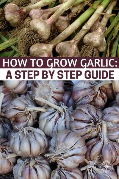 How To Grow Garlic: A Step by Step Guide - Growing garlic is not just about making good tomato sauce! Fresh garlic is a powerful medicinal herb. I eat a glove whenever my stomach is acting up and send those special forces right to the gut. There is a great list of medicinal uses for garlic in this article as well. From planting, to harvesting and storing you'll get it all in this article.