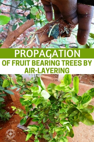 Propagation of Fruit Bearing Trees by Air-Layering - Air-layering is one method of propagating a fruit tree from an existing one, which will bear fruits sooner, and the fruits will taste same as the mother-plant.