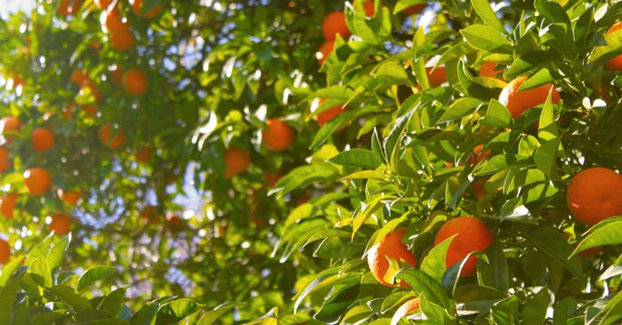 10 Must-Knows Before You Plant Fruit Trees - Ideally, your fruit trees should be planted in an area that provides an entire ecosystem at root level. Most people dream about the fruits they will harvest but they fail to plan properly before digging the first hole