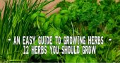 An Easy Guide To Growing Herbs - 12 Herbs You Should Have In Your Garden — Keeping a flourishing garden is never an easy task and success comes only after hard work. When it comes to growing plants, all gardeners prefer growing herbs as starters.