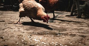A Guide for Raising Meat Chickens - Meat chickens are the second most effective creature that you can bring up in your backyard.