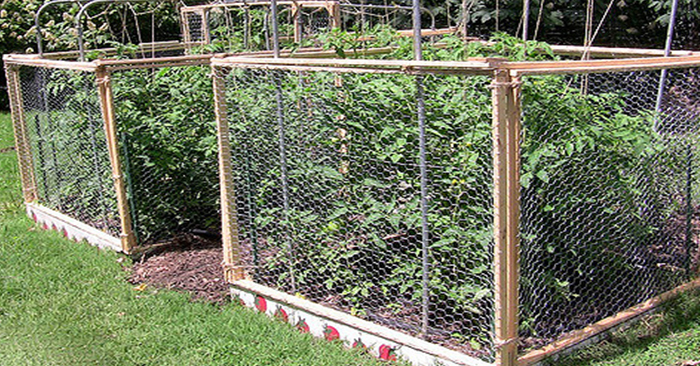 DIY PVC Tomato Cages - There is no other plant as hotly contested as the tomato. Growing tomatoes brings out whole communities of people who believe various ways and means of producing the best fruit.