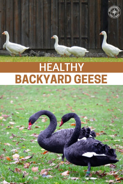 Healthy Backyard Geese - The article outlines the steps and methods that a goose owner should take.