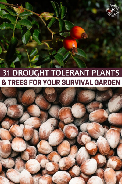 31 Drought Tolerant Plants & Trees for Your Survival Garden - In a country more and more affected by droughts, it's imperative that adapt your garden. In a long-term disastrous situation, you need a constant supply of food, but if you can't get the right amount of water for your garden, it'll surely die.