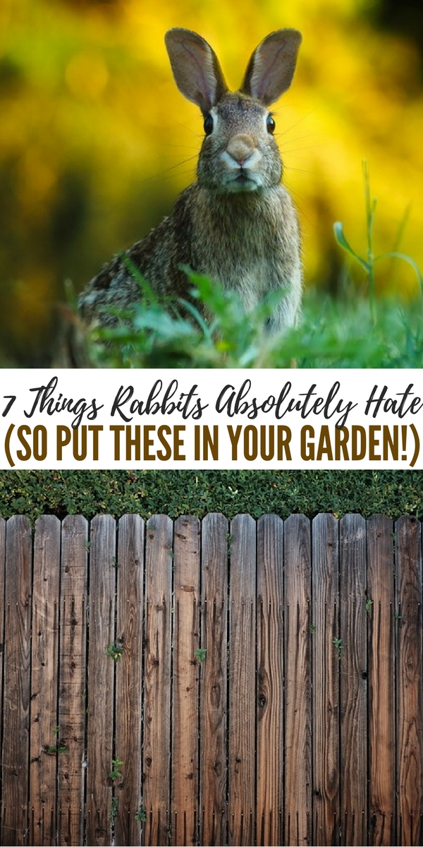 7 Things Rabbits Absolutely Hate (So Put These In Your Garden!) - This article is full of great ideas about how to deter these rabbits from coming into your yard. There are some great ideas in here