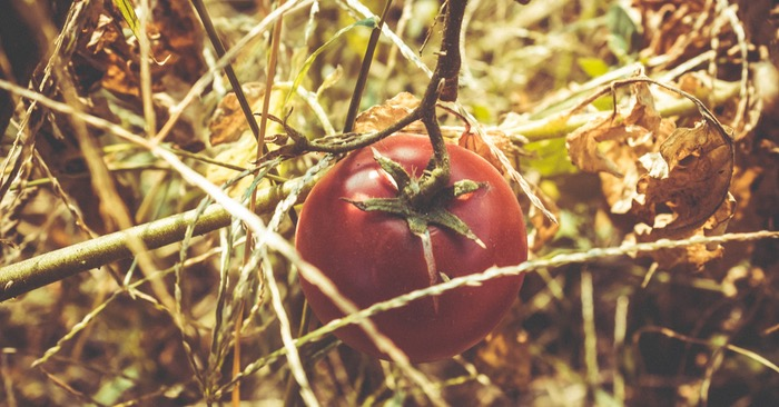 How To Support Tomato Plants Easily – And Why It's So Important! - Keeping your tomato and pepper plants off the ground plays a big role in the overall success of your crop. In fact, for as much effort as most gardeners put into having good soil and healthy plants, it can all be for not if plants are not supported properly.