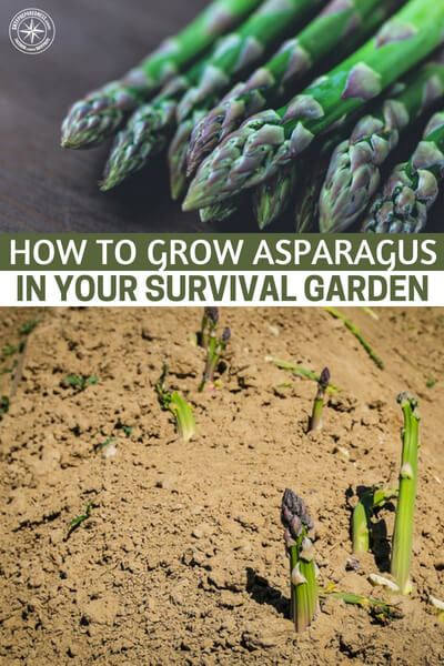 How To Grow Asparagus in your Survival Garden - Growing perennials is a sustainable, practical gardening technique that will provide you with food for years. But there are a few things you need to know about growing your asparagus crop like how to avoid pests, diseases and weeds, how to properly prepare the beds and ultimate how to harvest them.