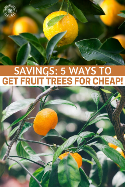 Savings: 5 Ways to Get Fruit Trees For Cheap! -- Fruit trees are nearly mythical in some settings in America today. To happen across a tree that food grows on in an urban setting is absolutely amazing.