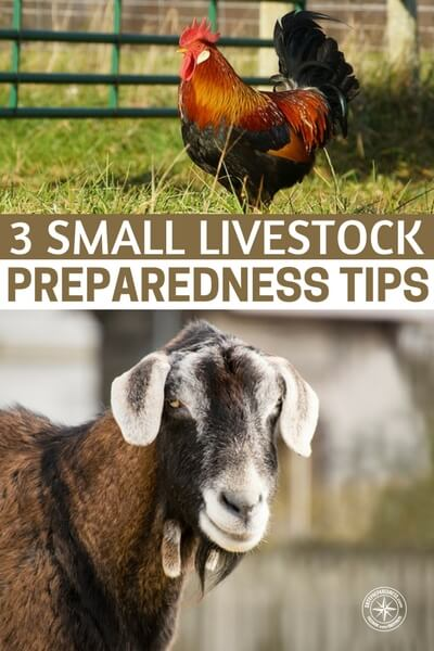 3 Small Livestock Preparedness Tips - This author is a family farm owner and knows her stuff when it comes to raising livestock. Add these tips to your growing list of survival skills and tips.