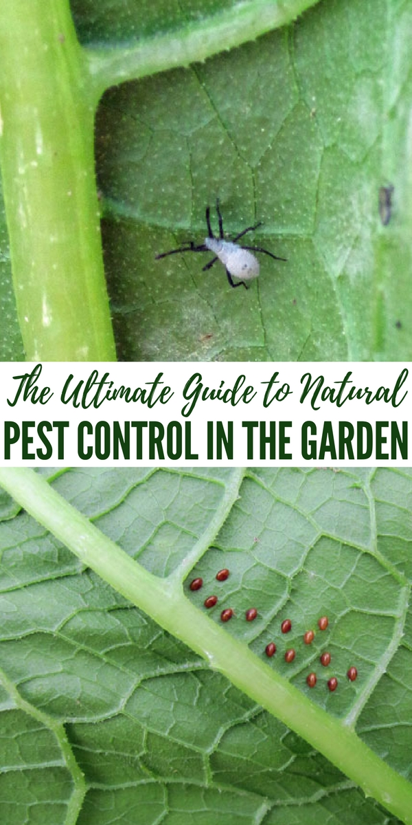 The Ultimate Guide to Natural Pest Control in the Garden - The truth is you should have an understanding of what types of bugs haunt your garden and why. Its very ugly to see the remnants of delicious tall greens that have very little left on the leave at all. These skeleton leaves have been taken by the worst of pests.