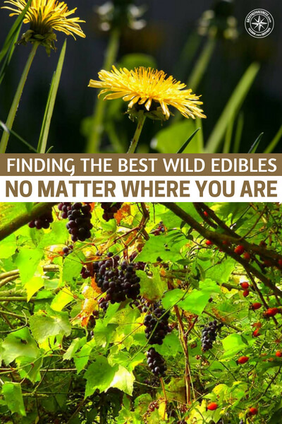 Finding the Best Wild Edibles No Matter Where You Are - Some of the wild edibles that can be foraged are pretty run of the mill. Things like mulberries and blackberries are well known. I did like the idea of harvesting fresh mussels from water and cooking them. These would be a great protein source that you wouldn't have to hunt or chase at all.
