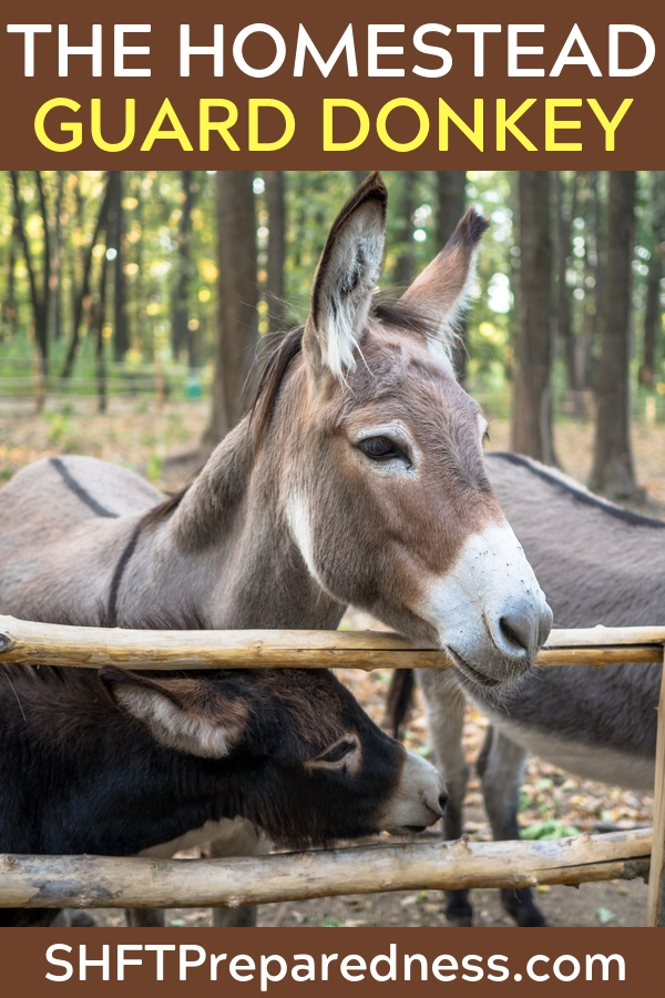 The Homestead Guard Donkey - Not only does the article break down the many reasons a guard donkey makes sense it also lists reason why a guard donkey is better than a guard dog, on the homestead. The author goes as far as what come out of the back end of the donkey and how it offers benefits to homestead.