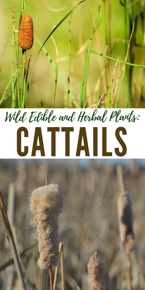 "Cattail, otherwise known as ""cat o' nine tails"", can be used for cordage, tinder and you can eat them for a great source of nutrients and energy if SHTF!"