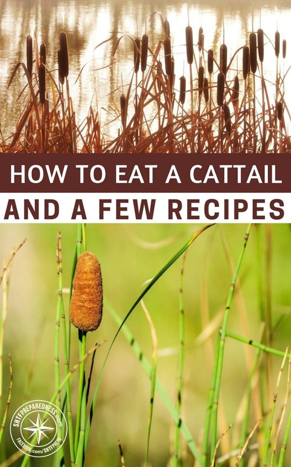 How To Eat A Cattail And A Few Recipes -- If you know how to eat a cattail correctly, you could have a great source of nutrients and much needed energy if SHTF! They also can be used for cordage and other survival uses too.