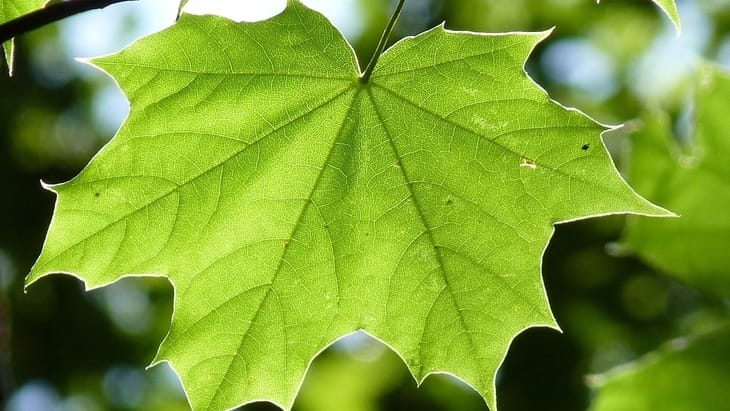soft green maple leaves as a toilet paper alternative