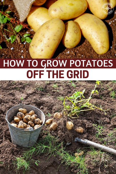 How To Grow Potatoes Off The Grid - When living off the grid, potatoes should be a major storage crop grown in your garden. They're not difficult to grow, taste delicious, and are packed with energy. Keep in mind that there are tons of ways to learn how to grow potatoes (some of which are easier than others).