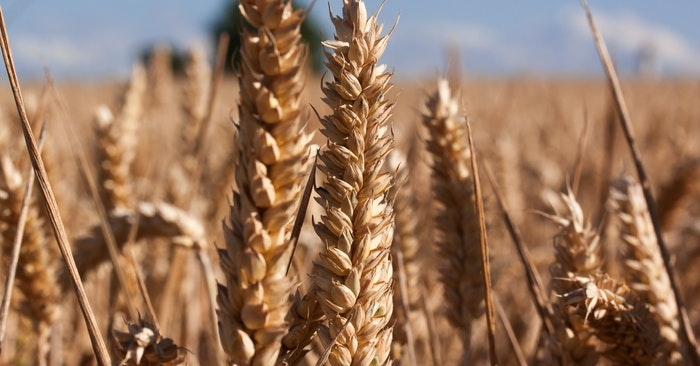 Why Storing Wheat for Survival is Smart - Start storing wheat berries! Many people have discovered the joys (and ease) of storing wheat berries that can be turned into flour when needed.