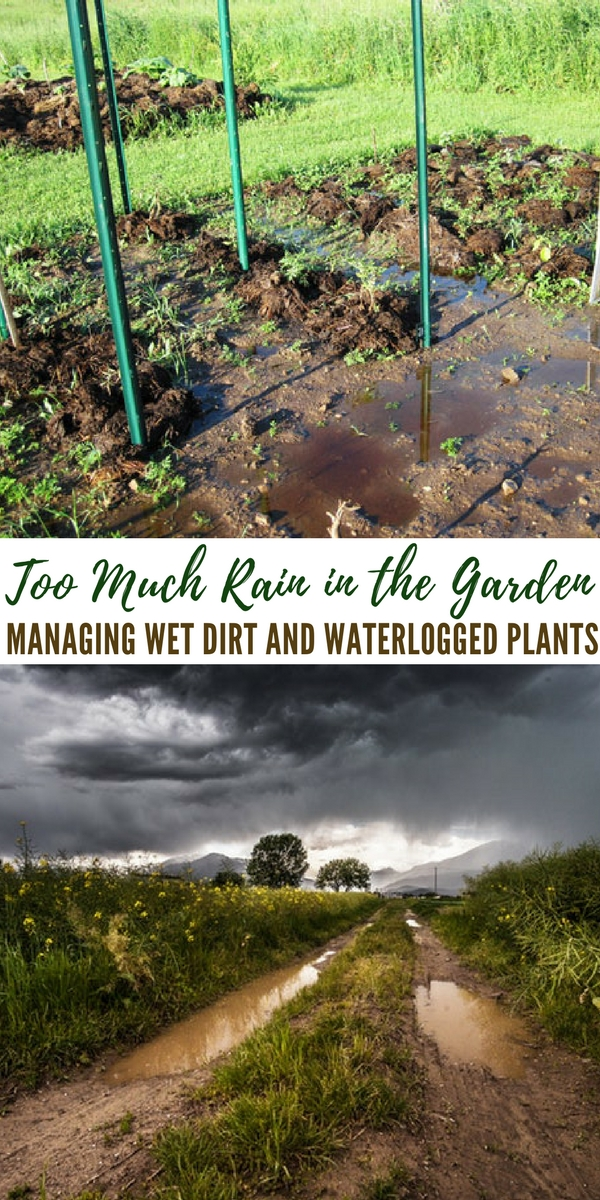 Too Much Rain in the Garden – Managing Wet Dirt and Waterlogged Plants - The author in this article gives some great ideas on how to deal with these very wet springs and even torrential rains in summer that look to drown your plants. One of the worst things is to see those beautiful, bulbous tomatoes with a long split in the side from too much water.