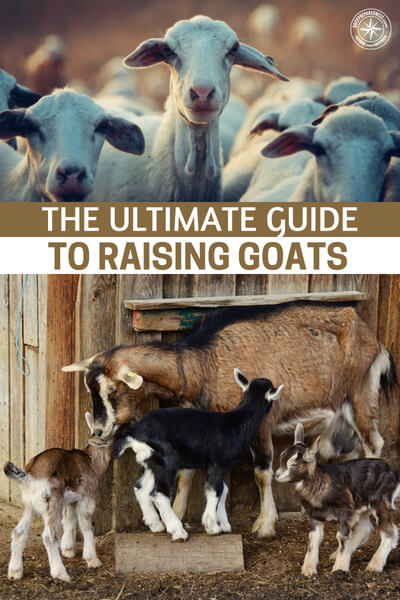 The Ultimate Guide to Raising Goats - So if you're raising four or five goats, it will cost a few hundred dollars per month. This number can be higher or lower depending on a few factors, but it's a good rule of thumb to know. Finally, you'll want to build a quality sleeping and resting area for your goats. There are thousands of ways to do this. While raising goats is very rewarding, it will take some work on your part.