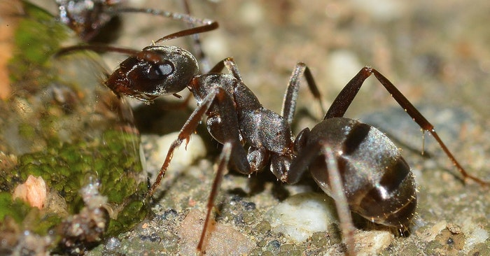 8 Natural Ant Remedies - This article offers some great methods for dealing with ants. As a prepper you probably have some of the recommended solutions on hand and don't even know it!
