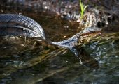 How to Identify Venomous Snakes in America -- When you are walking through the woods and feel something slither under your foot, you probably panic. A snake can catch anyone off guard, whether it is nestled under leaves or rocks or in plain sight.