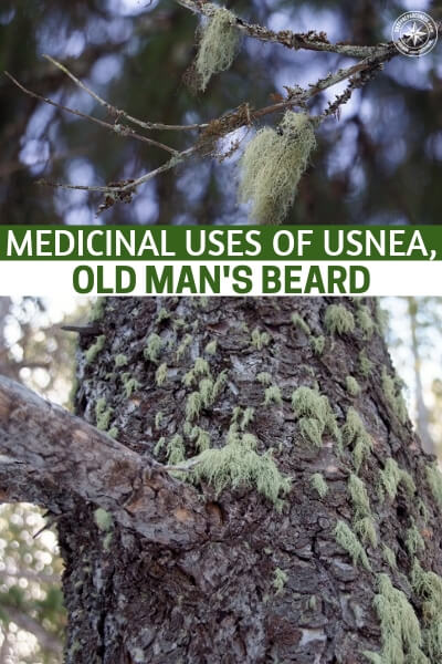 Medicinal Uses of Usnea, Old Man's Beard - Usnea has long been used therapeutically in many traditional systems including Chinese, European and Native American herbal medicine. One of the most important therapeutically active components in usnea is usnic acid, which has potent antibiotic properties.