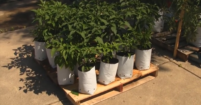 Planting In Grow Bags - This article has tons of pics and a brief overview of the growbags as well. It was interesting to see them growing peppers in the bags as my father in law had done the same thing.