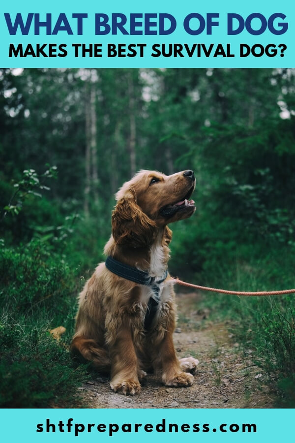What Breed Of Dog Makes The Best Survival Dog? - One of the biggest debates in the prepping world is what survival dog is truly king of the survival breeds. This list goes over the top 9 breeds of dogs that the majority of preppers already or want to own! Is yours on the list?