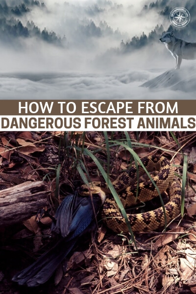 How to Escape From Dangerous Forest Animals - This article will prepare you for that moment when you are looking through the foliage and you lock eyes with a dangerous predator. It is very important that you understand how to react in that moment.