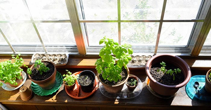 8 Herbs for Your Indoor Herb Garden - This article offers 8 herbs that can hang with you over the winter. These can be used for food applications or for medicinal applications as well. That is the other wonderful thing about herbs.