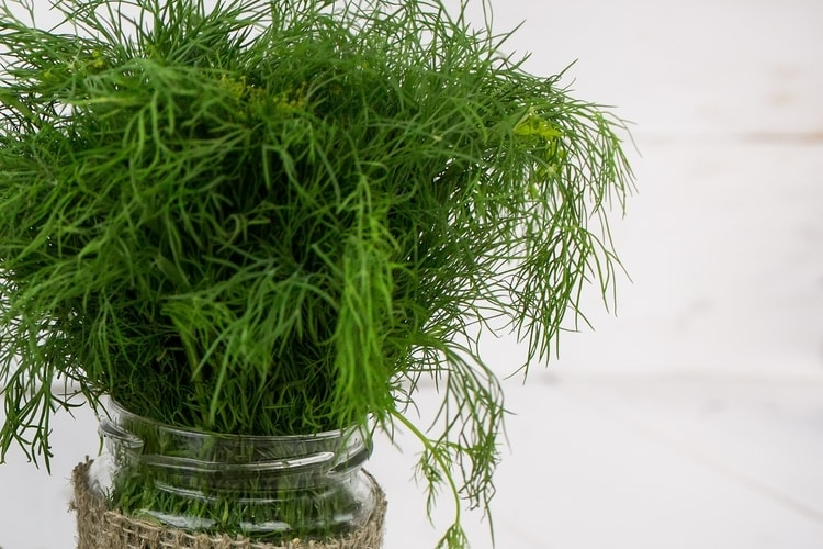 When grown indoors Dill offers a really lovely aroma and great flavor as an herb