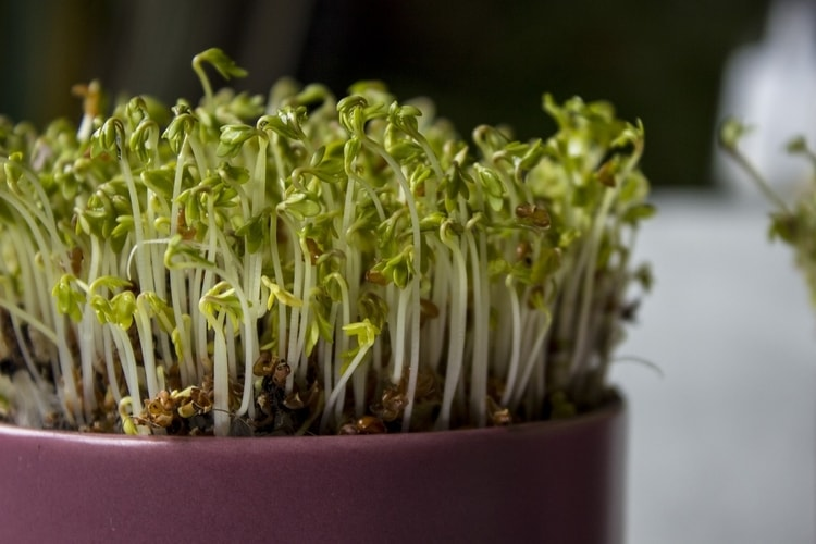 When added to to salads, sandwiches, and soups, garden cress adds depth of flavor .